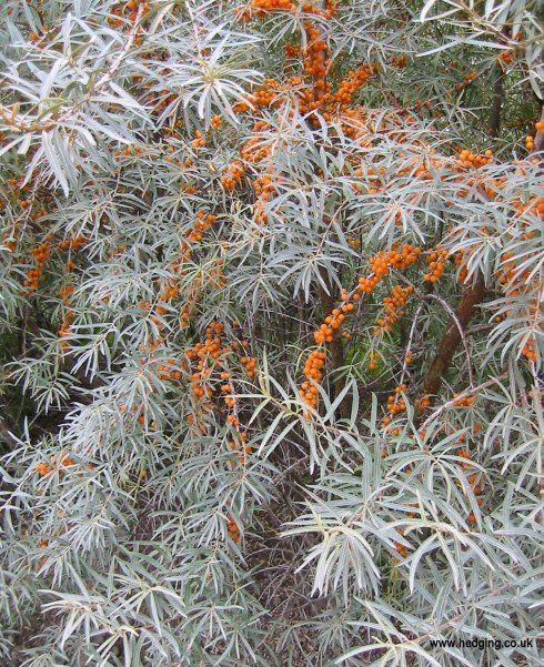 planta medicinala catina
